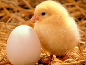 1285351927526757201baby-chicken-hi